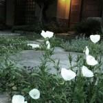 庭の月見草