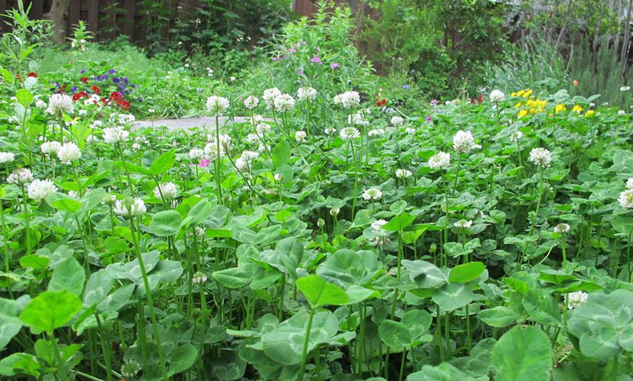 シロツメグサの庭72-888x535