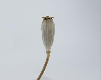 ヒナゲシの種-3