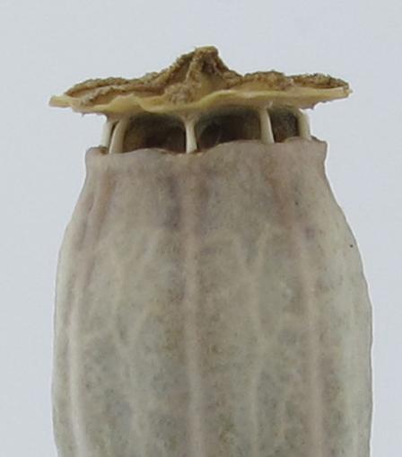 ヒナゲシの種-2